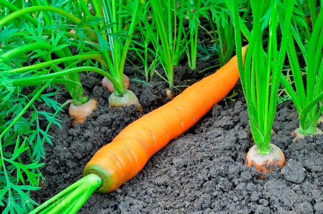 Что посадить после чеснока в июле