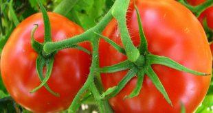 Фитофтора на помидорах как бороться народными средствами