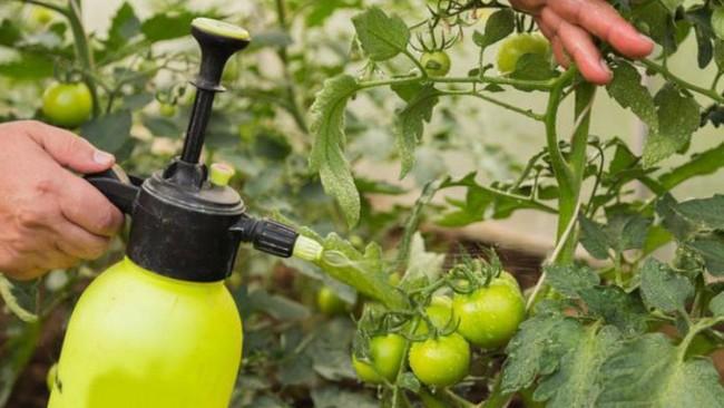 Фитофтора на помидорах в теплице как бороться