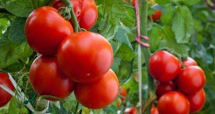 Почему у помидор сворачиваются листья в теплице