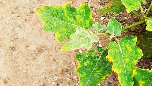 Почему желтеют листья баклажанов в открытом грунте