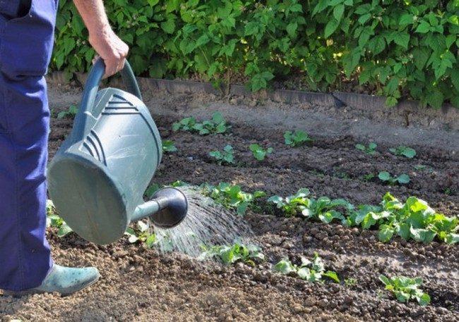 Полив капусты в открытом грунте как часто