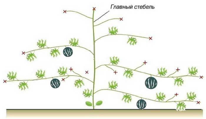 Как формировать арбузы в открытом грунте