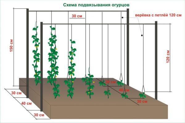 Как правильно подвязывать огурцы в открытом грунте?