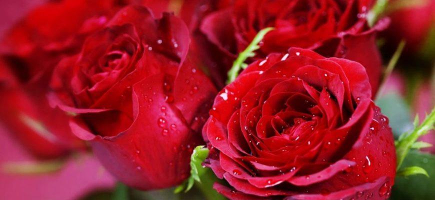 Когда можно пересаживать розы осенью с одного места на другое