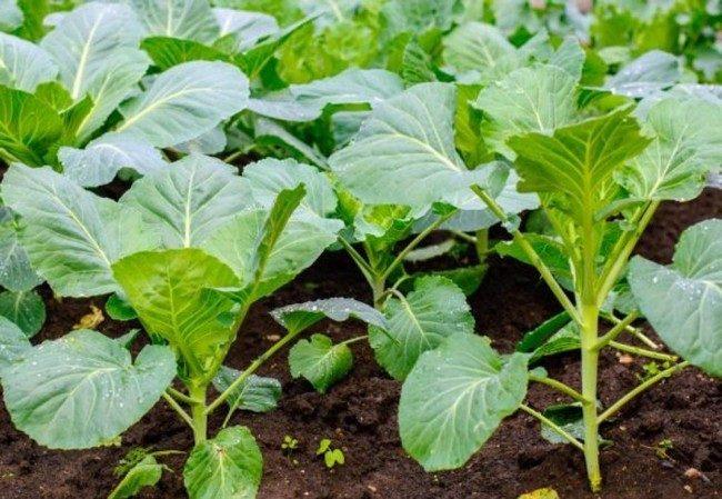 Выращивание капусты в Сибири в открытом грунте