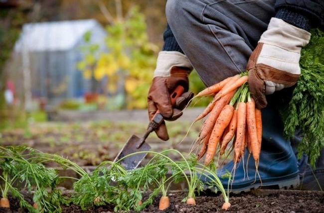 Когда убирать морковь с грядки на хранение в 2019 году