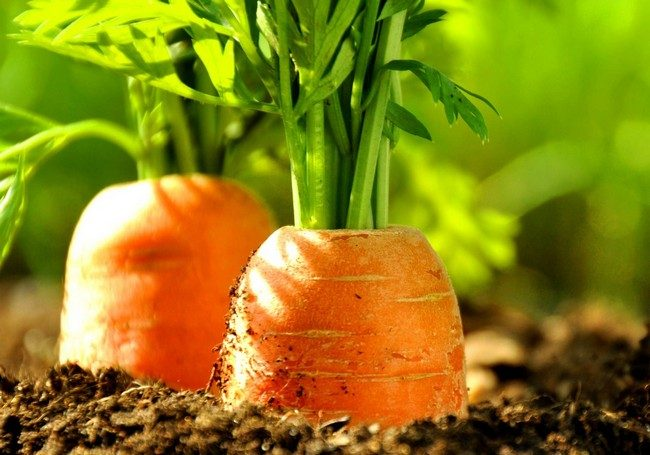 Когда убирать морковь с грядки на хранение в Беларуси
