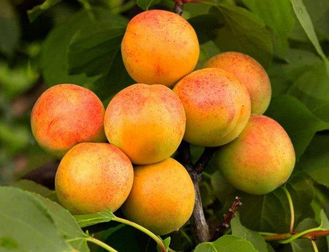 Обрезка абрикоса осенью схема для начинающих