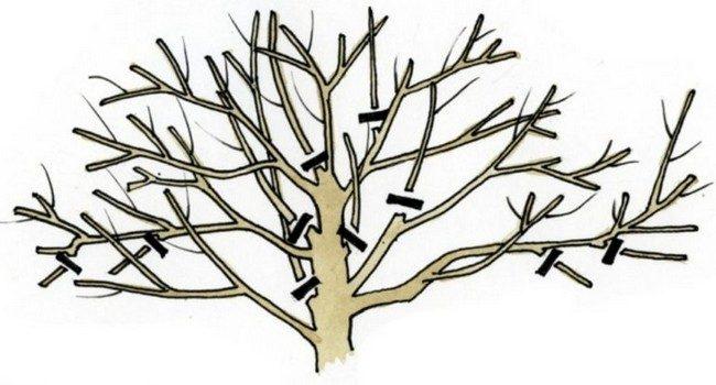 Обрезка черешни осенью схема для начинающих