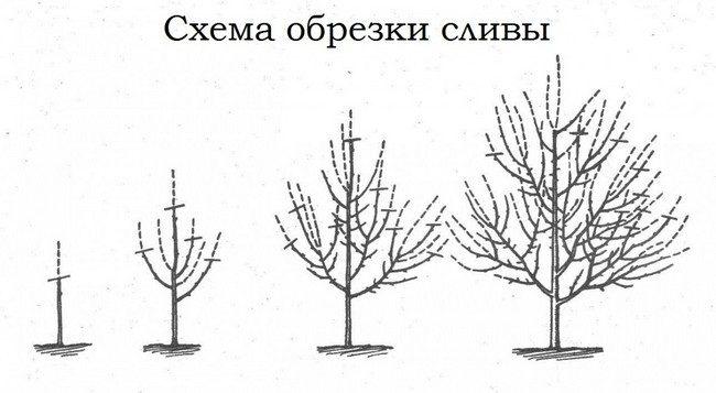 Обрезка сливы осенью схема для начинающих