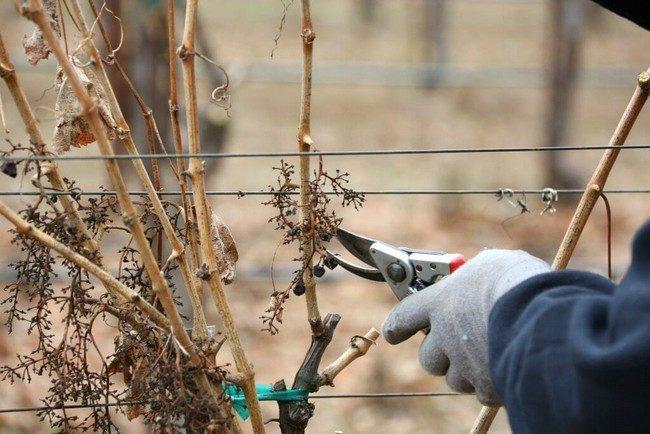 Обрезка винограда осенью 1 2 3 года схема