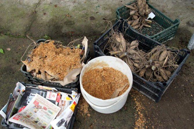 Когда выкапывать георгины на зиму в Подмосковье