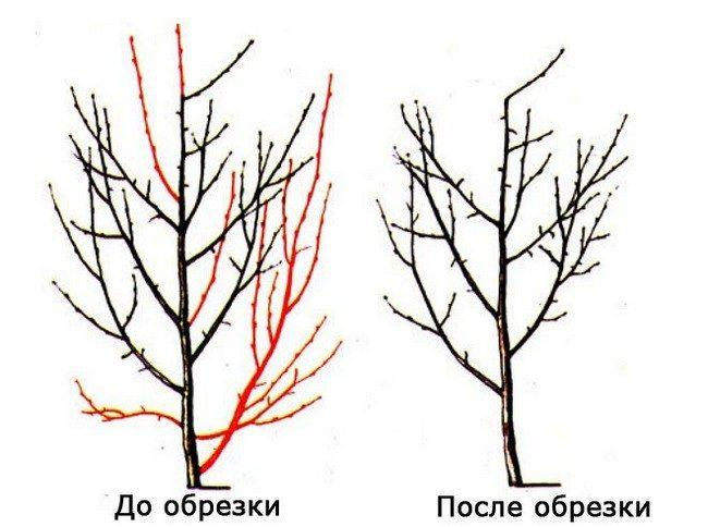Обрезка алычи осенью схема для начинающих