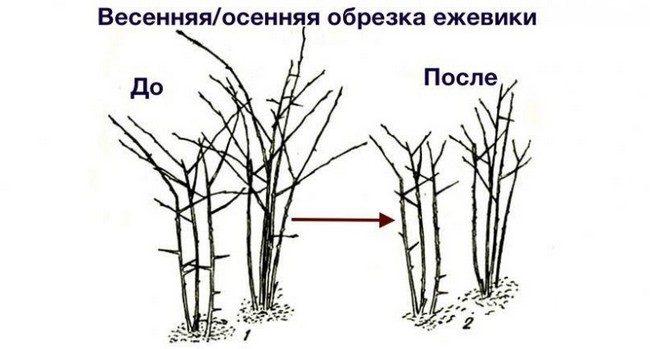 Обрезка еживики осенью схема для начинающих
