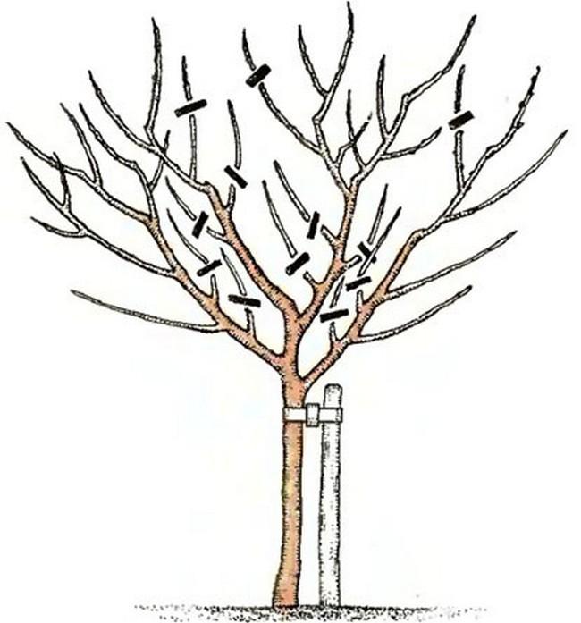 Обрезка груши осенью схема для начинающих