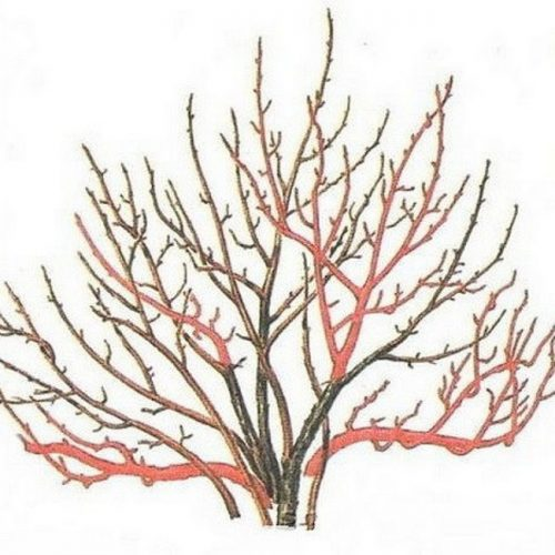 Обрезка красной смородины осенью схема для начинающих