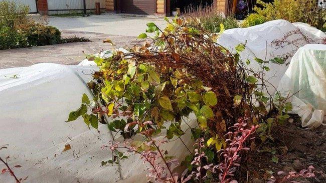 Осенняя обрезка клематисов