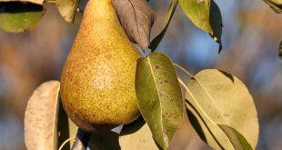 Осенняя обрезка плодовых деревьев и кустарников осенью на Урале