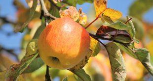 Осенняя обрезка плодовых деревьев и кустарников осенью в Сибири