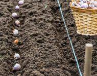 Когда сажать чеснок под зиму в 2019 году по лунному календарю в Подмосковье