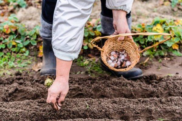 Когда сажать чеснок под зиму в 2019 году по лунному календарю