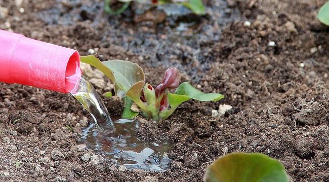 Бегония вечноцветущая посадка и уход в открытом грунте