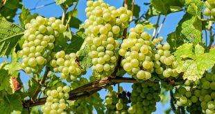 Как подготовить виноград к зимовке в Средней полосе