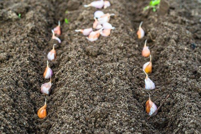 Чеснок выращивание и уход в открытом грунте весной