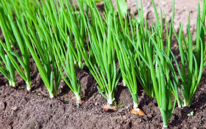 Лук посадка весной и уход в открытом грунте
