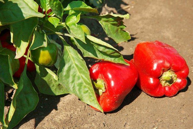 Обработка семян перца перед посадкой на рассаду марганцовкой