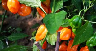 Посадка перца семенами на рассаду сроки
